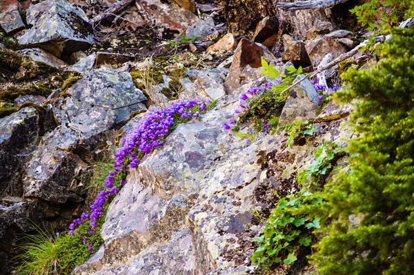Cliffside wildflowers above Annette Lake
