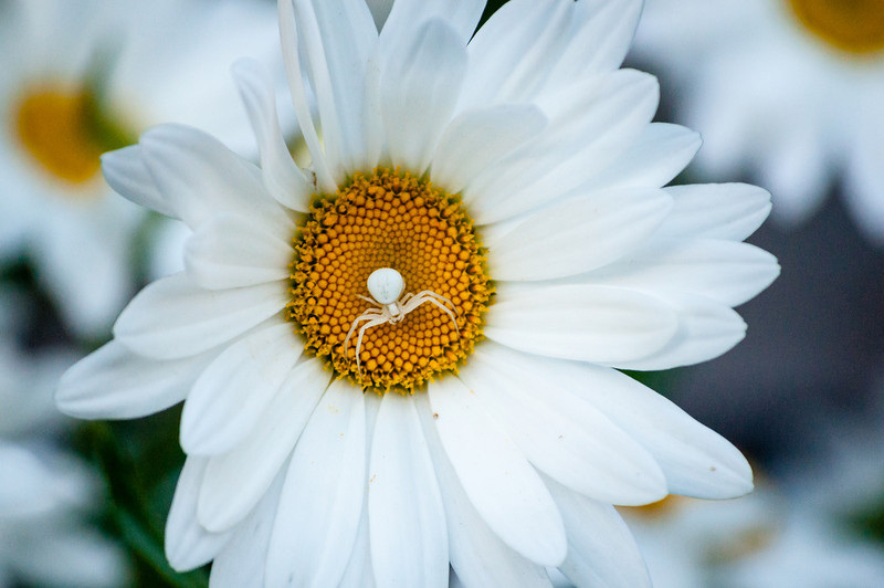 Crab Spider in a Daisy Flower