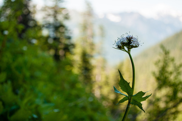 Wildflower above Annette Lake