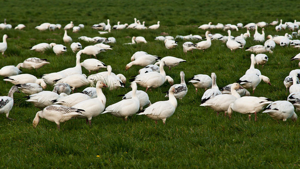 Snow Geese Gathered In a Field