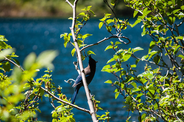 Jay sitting on a branch by Annette Lake