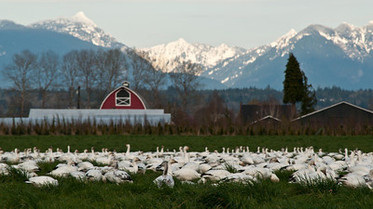 Snow Geese Before Snowy Mountains